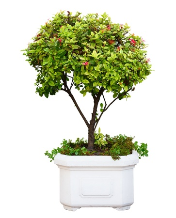 small plant: Bonsai dwarf green tree in pot isolated on white background Stock Photo