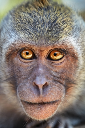 Portrait of curious monkey with bright eyes looking in camera. Crab-eating macaque or the long-tailed macaque (Macaca fascicularis), Bali.  photo