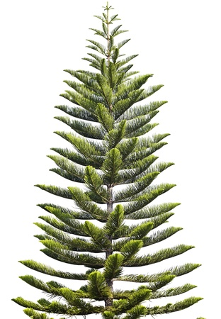 Norfolk Island Pine  Araucaria heterophylla  isolated on white background