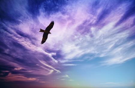 milvus: Bird of prey fly in sky - Black Kite (Milvus migrans)