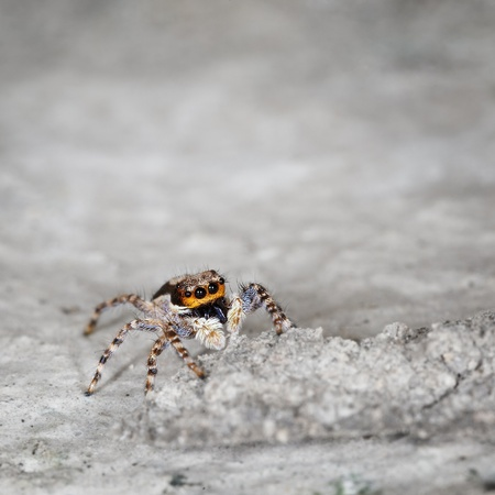 araneae: Small brown spider on grey stone close up - Salticidae Stock Photo