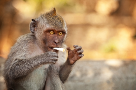 primates: Young wild monkey with part of cigarette Stock Photo