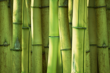bamboo forest: Green bamboo stems background, selective focus on front