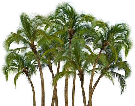 Group of palm trees isolated on white background