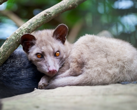 kopi: Asian Palm Civet - The animal used for the production of expensive coffee Kopi Luwak