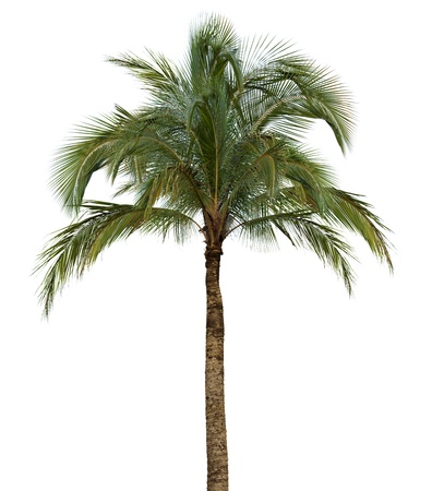 Coconut palm tree isolated on white background without fruit