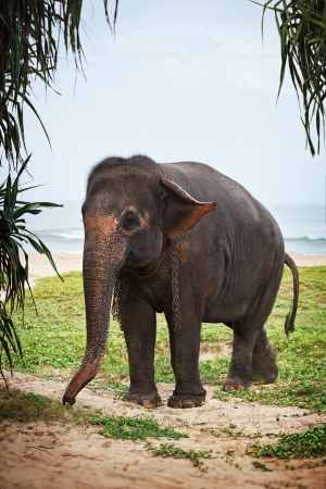 Young elephant among the plants on the beach photo