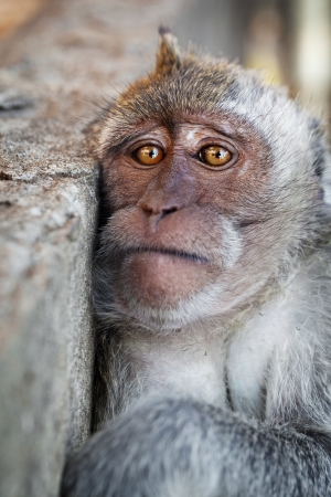 deplorable: Portrait of a sad monkey - crab-eating macaque Stock Photo