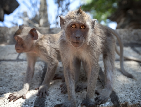 tailed: A pair of young monkeys - crab-eating macaque or the long-tailed macaque  Macaca fascicularis , Bali  Stock Photo