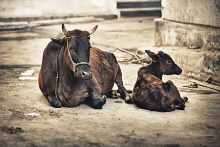india cow: Cow and calf on the street  India, Rajasthan, Udaipur Stock Photo