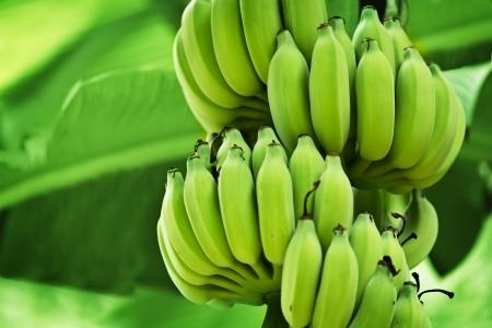 Unripe bananas in the jungle close up