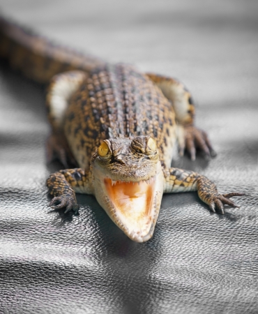 Small crocodile with open mouth close up photo