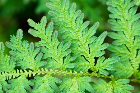 Green leaves of tropical fern close-up. Thailand photo