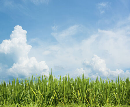 Grass under the beautiful sky. Rice field floral background photo