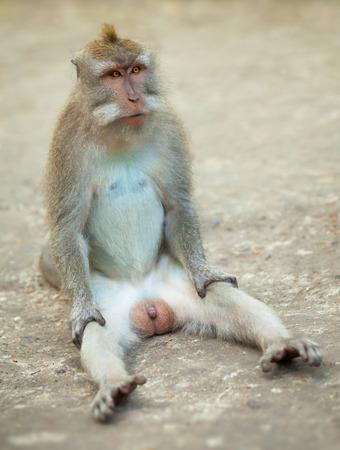 pene: Maschio scimmia divertente seduta a terra. Crabeater Macaco da isola di Bali