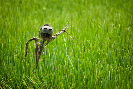 flowering field: Scarecrow on rice field with a coconut head Stock Photo