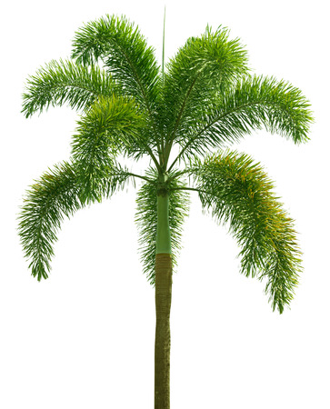 Wodyetia (Foxtail Palm). Palm tree isolated on white background photo