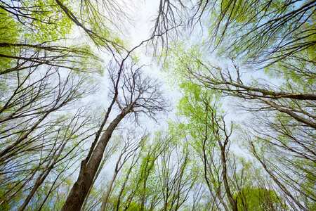 tree canopy: View of the sky in the deciduous spring forest