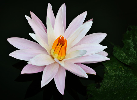 Beautiful water lily blossoms on a pond surface photo