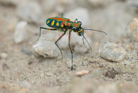 predatory insect: Tiger beetle - Cosmodela aurulenta on ground close up