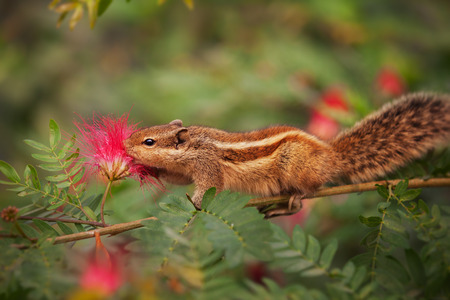 clinging: Palm squirrel in india, sampling nectar from a flower while clinging to a narrow branch