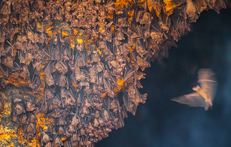 eyes cave: Single bat arrives to join the rest of his colony inside Goa Lawah Bat Cave Temple in Bali, Indonesia. Stock Photo