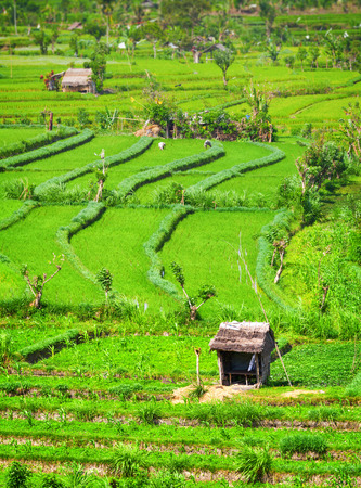 laborers: Agricultural Laborers Work in these Teraced Rice Fields in Southeast Asia.