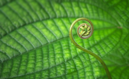 unfolding: Tender young, tropical, spiral shaped fern frond close up in a forest.