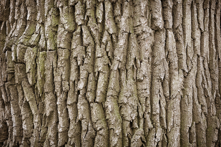 bark background: Close up of rough, and aging dry bark on an old tree trunk background