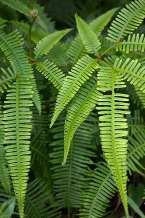 thriving: Wild fern, healthy and green, thriving in its natural habitat in a tropical wilderness area.