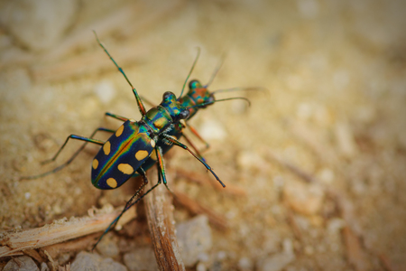 cicindela: Close up photo of tiger bettles on the ground. Colored beetles with long legs