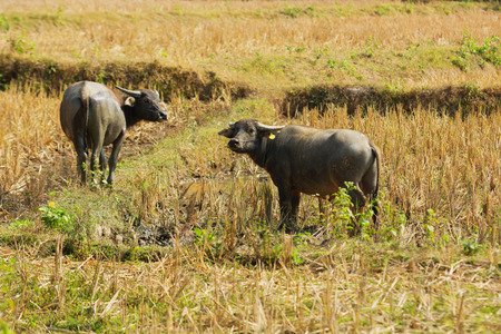 Laos - buffalo in the field. Harvest of rice already harvested