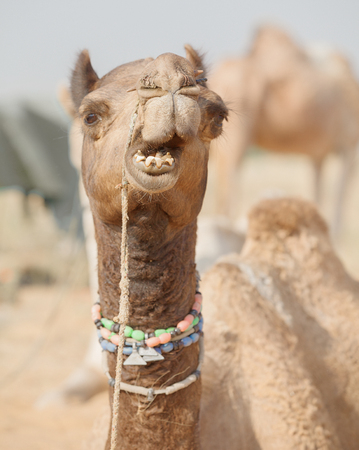 Camel at the fair. Close up of a muzzle. India, Pushkar