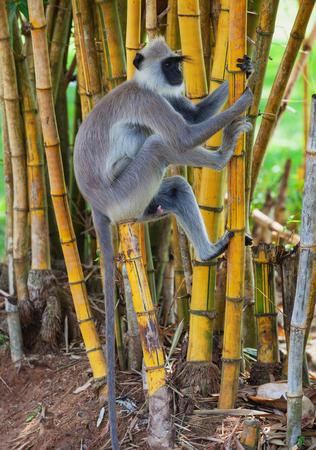Sri Lanka - Affe auf Bambus. Affe klettert einen Baum Standard-Bild - 87233028
