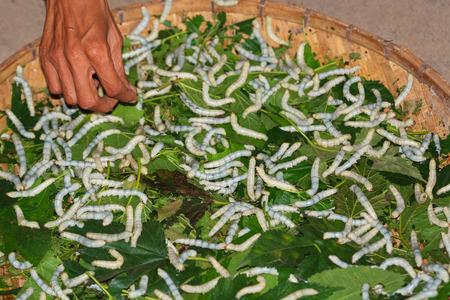 Motte Raupen bereit zur Verpuppung auf Blättern Standard-Bild - 87233039