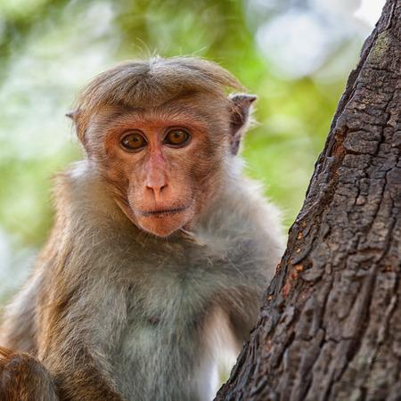 Affe auf dem Baum. Blick in die Kamera. Sri Lanka Standard-Bild - 87233042
