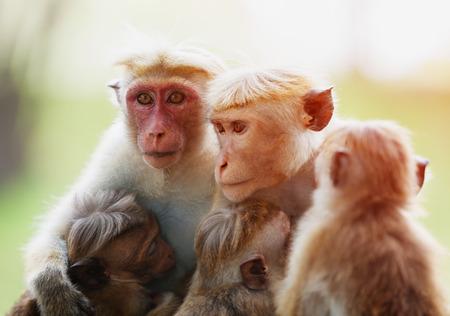 Familie von Affen. Affe mit Kindern. Kleiner Affe essen Standard-Bild - 87233065