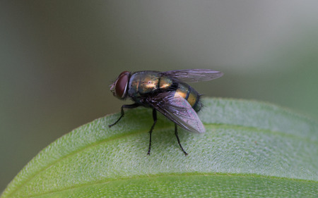 Blow fly sits on a geen leaf in the natural forest Standard-Bild - 90252492