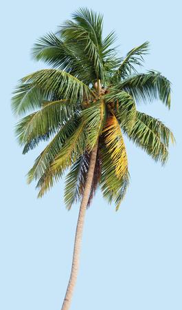 Kokospalme auf einem blauen Hintergrund Standard-Bild - 90252881