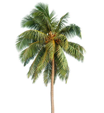 Coconut palm tree isolated on the white background