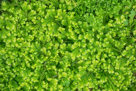 Decorative background of green moss