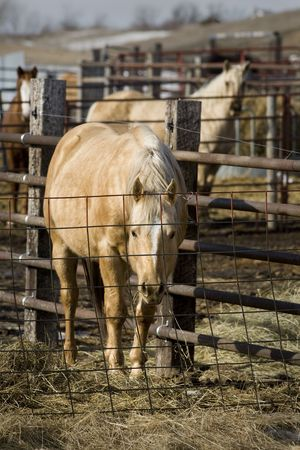 fench: Horeses feed in the pen on a late Winter day in South Dakota