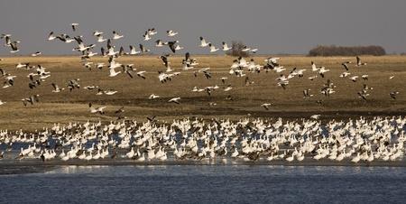 flocking: Snow Geese take to the air in South Dakota  Stock Photo