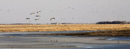 Canada Geese look for a place to land on a Soouth Dakota pond