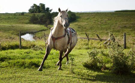 Horse in Motion, Equus ferus caballus  Banco de Imagens