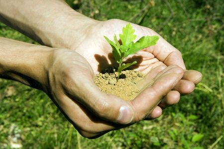 replant: Sprout of an oak tree in mans hands Stock Photo