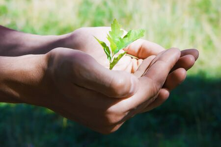人間の手でオークの小さな緑の木