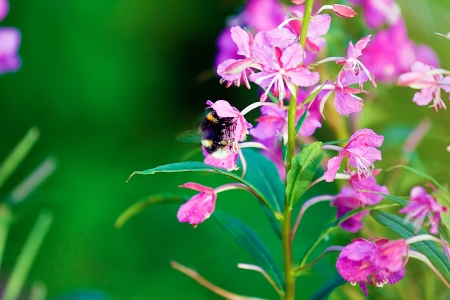 Bumblebee on a flower willow-against the green grass. summer Stock Photo - 14969039
