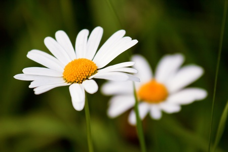 Two camomile on background of green grass close-up photo