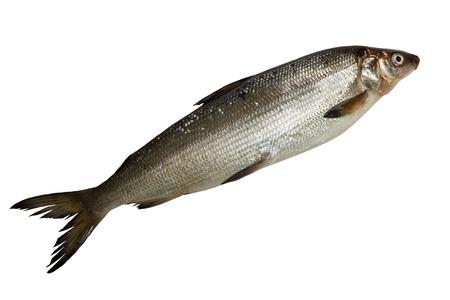 白い背景で隔離された単一の新鮮な白身魚